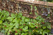 Wild strawberries, rusty metal fender