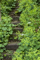 Stone steps with Alchemilla mollis