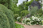 Hydrangea arborescens 'Annabelle' by steps leading to front door, clipped box hedges