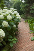Hydrangea arborescens 'Annabelle' by brick path leading to front door