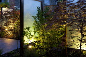 Uplit perspex screen, Acer palmatum 'Burgundy Lace'