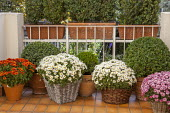 Pomponnette chrysanthemums in woven containers and clipped box balls in terracotta containers on balcony
