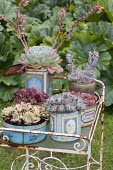 Succulents in recycled containers, sempervivums, echeverias on metal plant stand