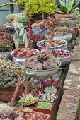 Succulents in recycled containers, sempervivums, echeverias