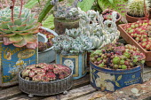 Succulents in recycled containers, sempervivums, echeverias, cactus