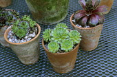 Sempervivums tectorum, 'Red Mountain', and 'Mount Hood' in terracotta containers on table