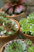 Sempervivum 'Pseudo-ornatum', S. 'Mount Hood', S. 'Red Mountain', S. tectorum in containers