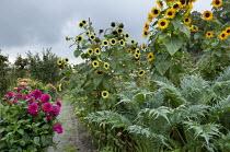 Sunflowers, artichokes and dahlias