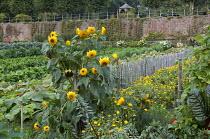 Sunflowers and marigolds in walled kitchen garden