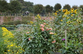 Sunflowers, dahlias and row of marigolds in walled kitchen garden