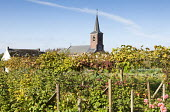 Fruit garden with mixed grape vine and raspberries, church