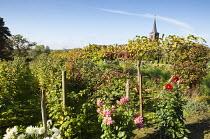 Fruit garden with mixed grape vines, rows of raspberries, dahlias, church
