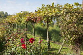 Fruit garden with mixed grape vine, blackberries, dahlias and asparagus bed