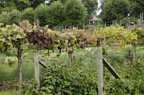 Trained grape vine, raspberry bushes