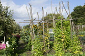 Beans climbing on wooden frame in potager, sunflowers, dahlias