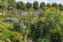 Potager, sunflowers, dahlias, marigolds, sweetcorn