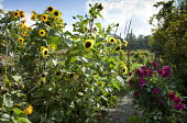 Sunflowers and dahlias in potager