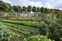 Rows of crops in kitchen garden, carrots, kohlrabi, Broad beans, marigolds, dahlias, sunflowers