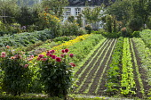 Rows of vegetables and salad crops in potager, dahlias