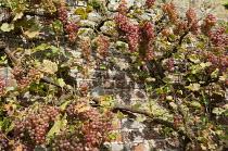 Grape vine on brick wall