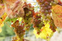 Grape vine, Vitis vinifera