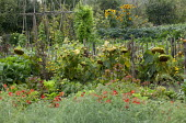 Sunflowers along wooden fence, dahlias and vegetables in potager