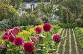 Kitchen and cutting garden, salad sowings, carrots, marigolds, dahlias, sunflowers