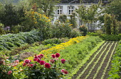 Kitchen and cutting garden, salad sowings, carrots, marigolds, dahlias, sunflowers, artichokes