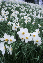 Naturalised narcissi in spring