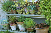 Collection of succulents in containers displayed on wooden shelves, cotelydon, aeonium, aloe, sempervivum, crassula