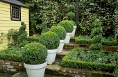 Containers with box balls on steps, box parterre, yellow shed