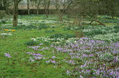 Carpet of crocus and snowdrops under trees