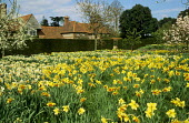Daffodils and tulips in orchard in blossom, view to house