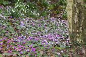 Cyclamen coum and Galanthus nivalis under birch trees
