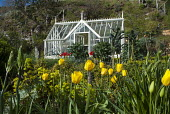 Tulips and camassia in potager, greenhouse