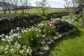 Coastal garden, daffodils and tulips, border edged with stones, stone wall, hellebores, Narcissus 'Thalia', Tulipa 'Angélique'
