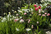 Spring border with tulips, daffodils, Darmera peltata, Narcissus 'Thalia', Tulipa 'Angélique' and 'Pink Diamond'
