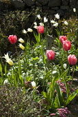 Spring border with Tulipa 'Pink Diamond' and 'White Triumphator', bergenia, driftwood