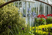 Camassias and tulips by greenhouse