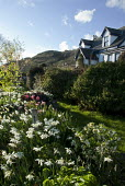 Coastal garden, house overlooking sea, daffodil and tulip border, hellebores, Narcissus 'Thalia'