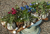 Collection of old teapots with bulbs on tray, rope coil, tulip, muscari, anemone