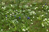 Muscari latifolium, Primula vulgaris