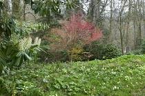 Primroses and Muscari latifolium, Acer palmatum 'Sango-kaku'