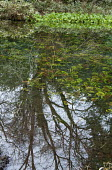 Reflection of trees in natural pond, Caltha palustris at water's edge