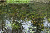 Waterlilies and Aponogeton distachyos in pond