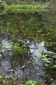 Aponogeton distachyos in pond, reflection of trees