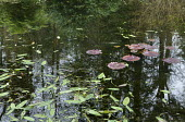 Waterlilies and Aponogeton distachyos in pond, reflection of trees