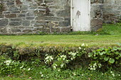 Stone wall with primroses growing in the wild