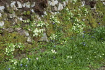 Dry-stone wall with primroses, Muscari latifolium