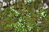 Primroses growing in moss-covered dry-stone wall